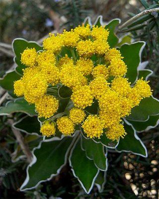 Chrysanthemumpacificum1