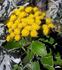 Chrysanthemumpacificum2