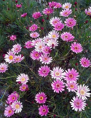 Chrysanthemumfrutescens1
