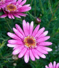 Chrysanthemumfrutescens2