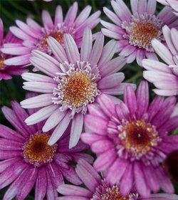 Chrysanthemumfrutescens3