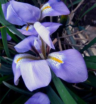 Irisunguicularis6