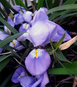 Irisunguicularis8