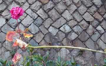 Pelargoniumzonale2_2