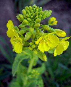 Brassicarapa5