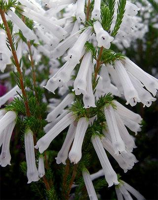 Ericacolorans1_2