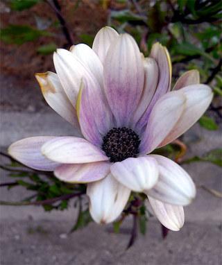 Osteospermum1