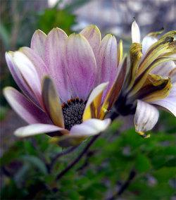 Osteospermum2
