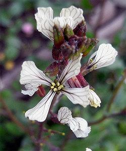 Erucavesicaria2