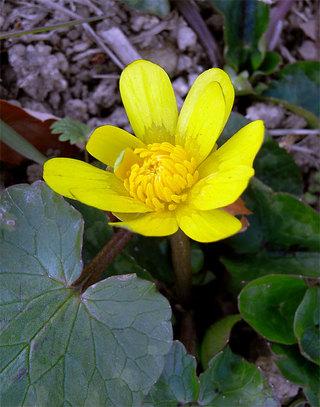 Ranunculusficaria1
