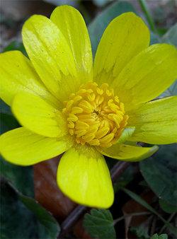 Ranunculusficaria2
