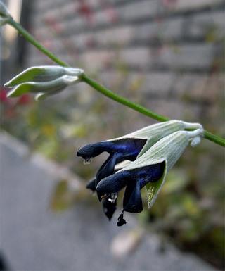 Salviadiscolor1