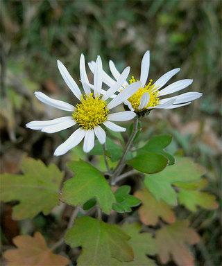 Chrysanthemumjaponicum1