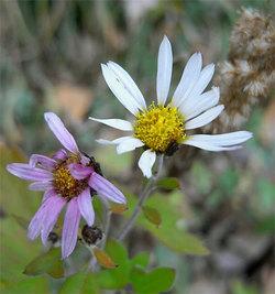Chrysanthemumjaponicum2