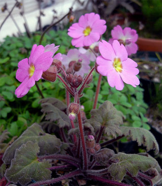 Primulasinensis1