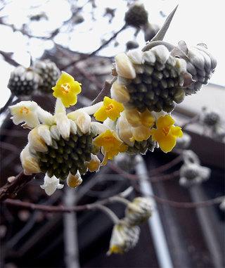 Edgeworthiachrysantha3