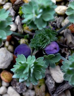 Paraquilegiamicrophylla2