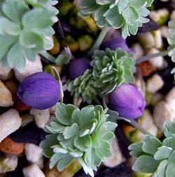 Paraquilegiamicrophylla3