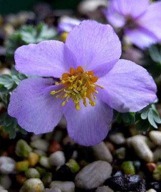 Paraquilegiamicrophylla5