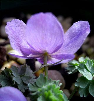 Paraquilegiamicrophylla6