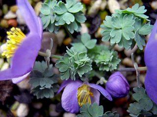 Paraquilegiamicrophylla8