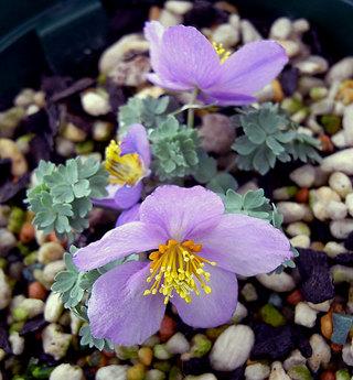 Paraquilegiamicrophylla9