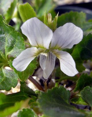 Vyezoensisasoana1