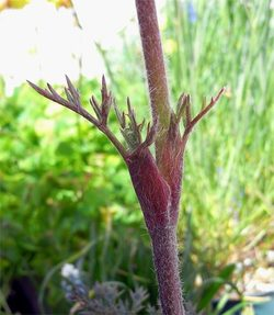 Atenuifolia14
