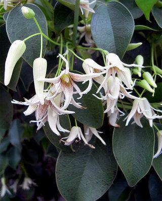 Stauntoniahexaphylla4