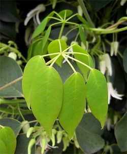 Stauntoniahexaphylla7