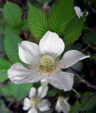 Rubushirsutus1