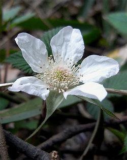 Rubushirsutus2