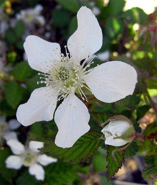 Rubusidaeus1