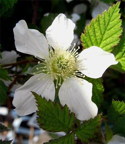 Rubusidaeus2