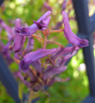 Corydalisincisa9
