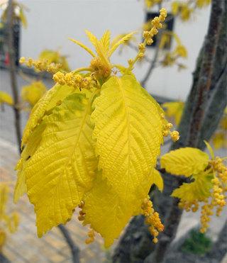 Quercusaliena1_2