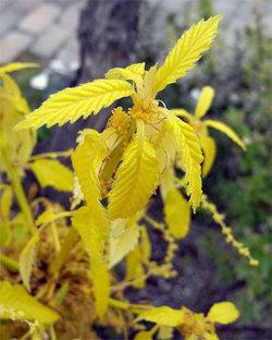 Quercusaliena2