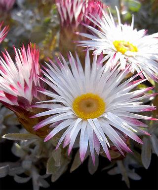 Helichrysumsilvercandle1