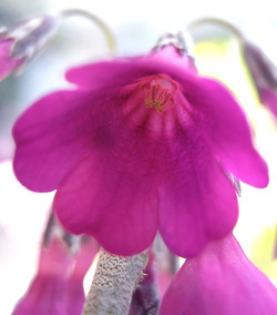 Psecundiflora2