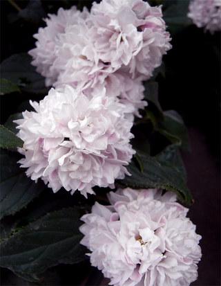 Deutziaappleblossom1