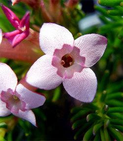 Ericafastigiata2