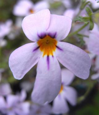 Jamesbritteniamicrophylla1