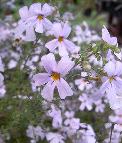 Jamesbritteniamicrophylla2