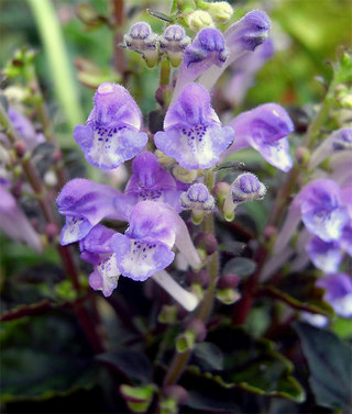 Scutellarialaeteviolacea1_2