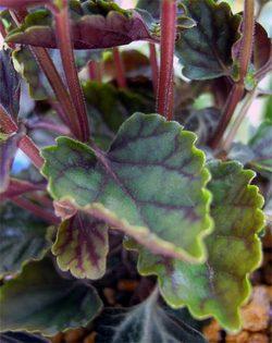 Scutellarialaeteviolacea3
