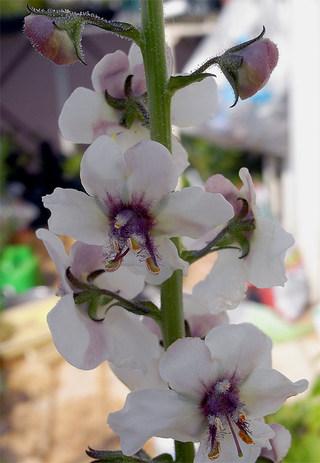 Verbascumblattaria1