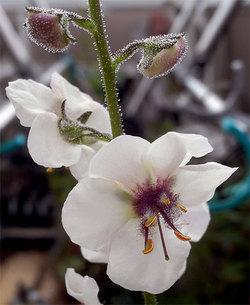 Verbascumblattaria2