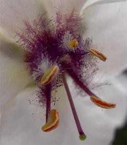 Verbascumblattaria3
