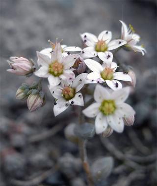 Sedumdasyphyllum1