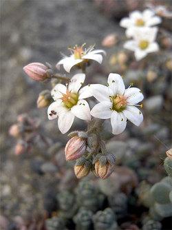 Sedumdasyphyllum2